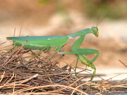 Mantis-greece-alonisos-0a