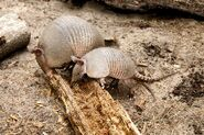 Armadillo Mother And Baby 600