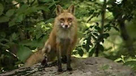 Scream of the red fox