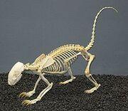 220px-Hog-nosed Skunk Skeleton