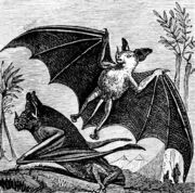 PSM V07 D665 Vampire bat of south america