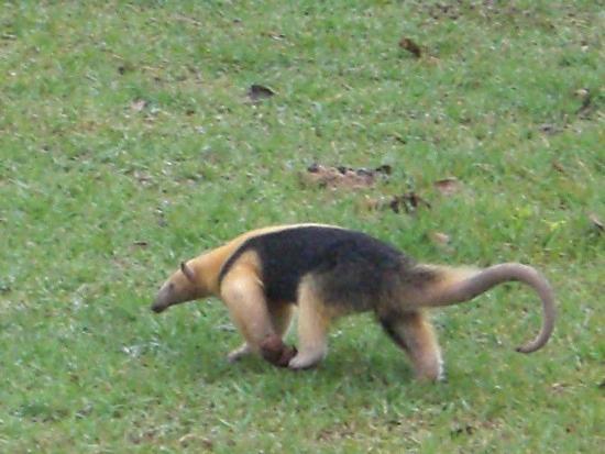 File:1.1279826204.anteater.jpg