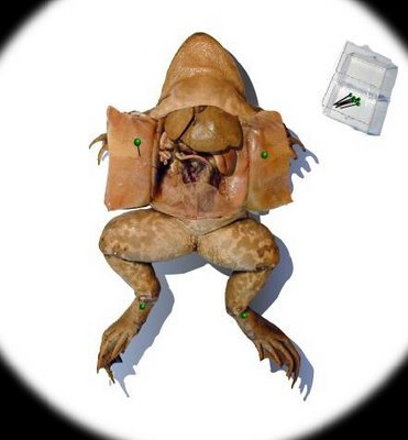 File:Dissecting a frog.jpg