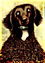 Greying dog