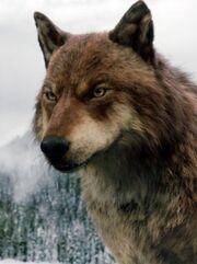 Jacob wolf twilight breaking dawn.jpg