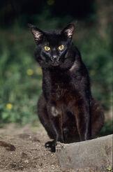 Jungle-Cat-MJCA006