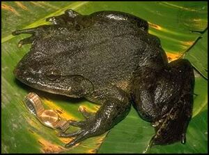 Goliath Frog - Conraua goliath