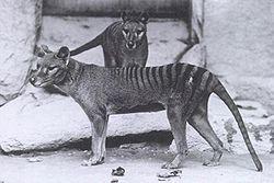 File:Thylacine.jpg