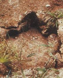 File:Mokele-mbembe-Footprint.jpg