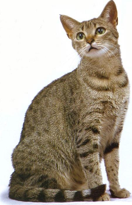 Egyptian Mau   Cute kitty cats Wiki   FANDOM powered by Wikia