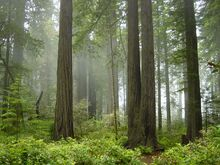 Redwood National Park, fog in the forest