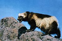 File:200px-Wolverine on rock.jpg