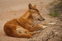 File:Dingo.jpg