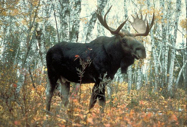 File:Moose superior.jpg