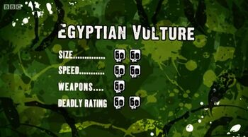 S3 DR egyptian vulture