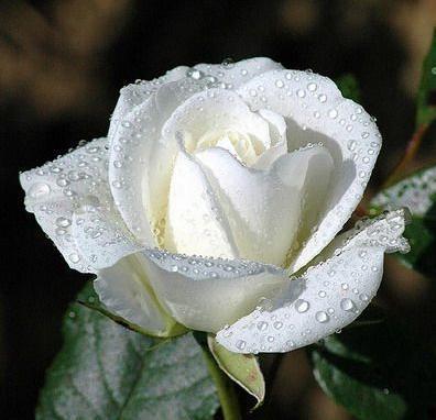 File:White rosesimage.jpg