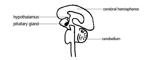 File:Animal pituitary hypothalamus.jpg