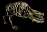 Canine bones