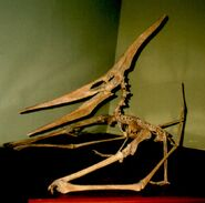Pteranodon skeleton