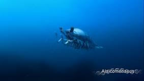 Alalcomenaeus