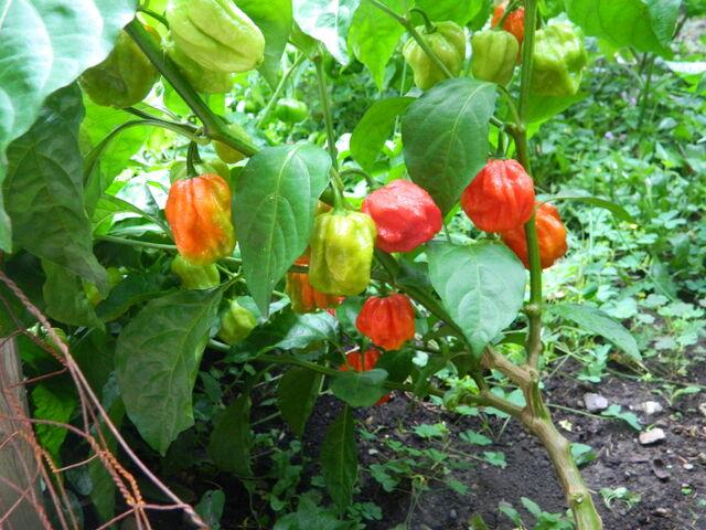 File:7-pot fruit yield.JPG