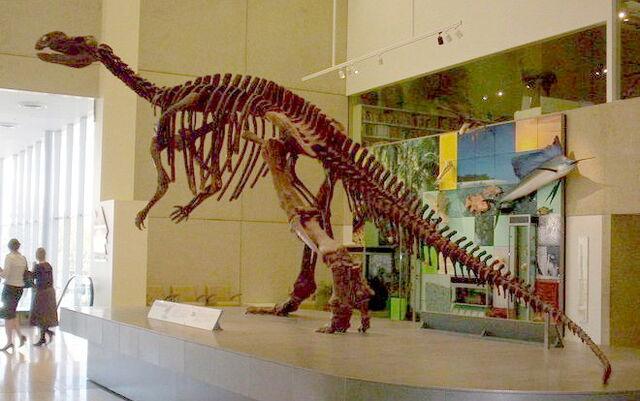 File:Muttaburrasaurus skeleton.jpg