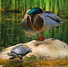 220px-Tortoise and the duck
