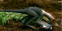 Microraptor/Gallery