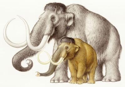 Dwarf-mammoth
