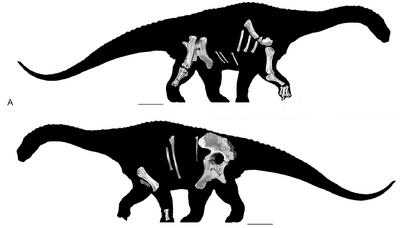 800px-Diamantinasaurus skeletals