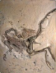 Compsognathus skeleton