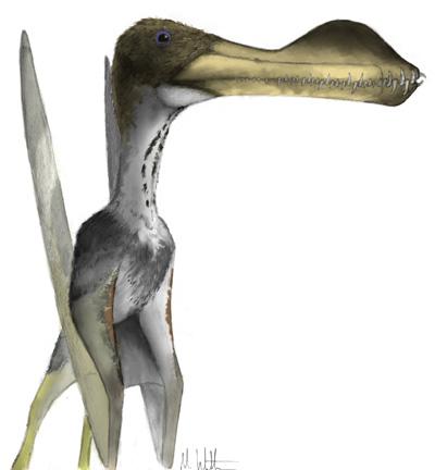 File:Coloborhynchus.jpg
