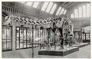 Mounted-skeleton-of-diplodocus2