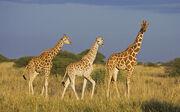 Large-Giraffe-photo