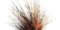 Morkubine Porcupine
