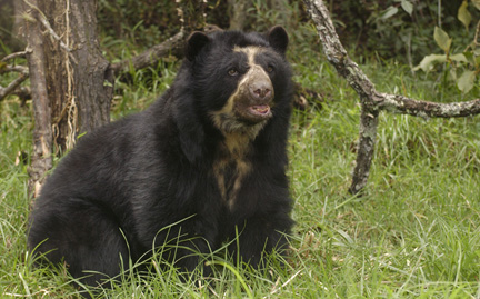 File:Spectacled Bear (Tremarctos ornatus).jpg
