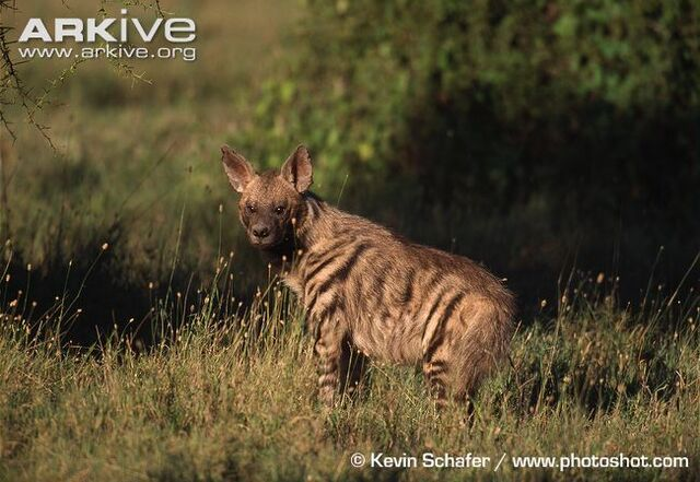 File:Striped Hyena.jpg