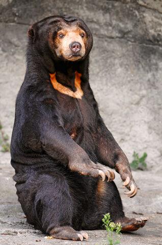 File:Sun Bear.jpg