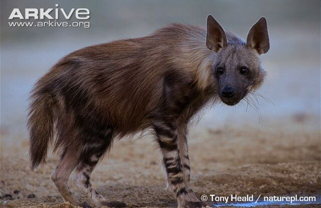 File:Brown Hyena.jpg