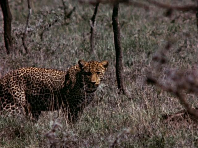 File:31. Leopard.PNG