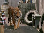 1964-tigre-2