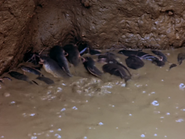 40. Nile Catfish