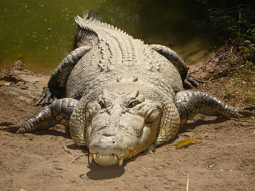 File:Big crocodile in Oz..jpg