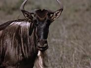 2. Blue Wildebeest