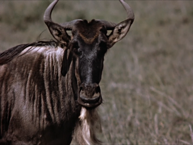 File:2. Blue Wildebeest.PNG