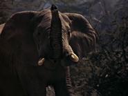 24. African Elephant