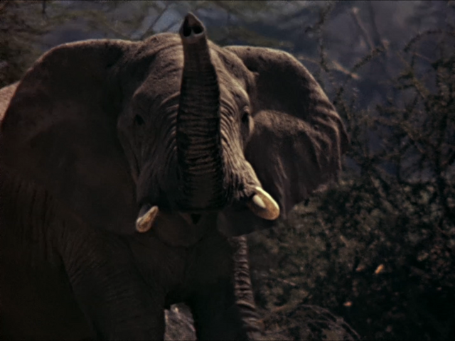 File:24. African Elephant.PNG