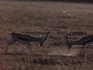 8. Thomson's Gazelle