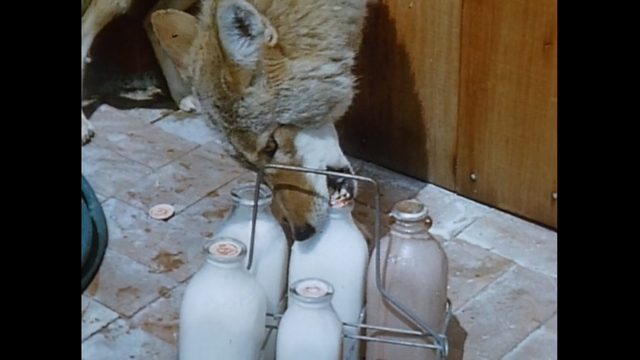 File:Coyote drinking some milk.png