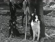 Arizona sheepdog 2 dogs 360x274 opt 1